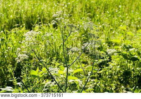 A Caraway Or Persian Cumin Plant With Umbels Of White Blossoms