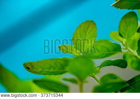 Holy Basil Plant Or Tulsi On Low Angel.scientific Name Ocimum Tenuiflorum.commonly Known As Holy Bas