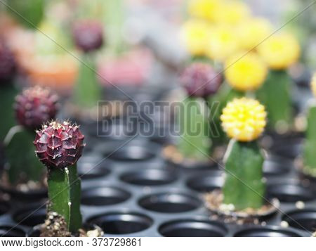 Cactus Tree Green Trunk Has Sharp Spikes Around Blooming In Plastic Pots