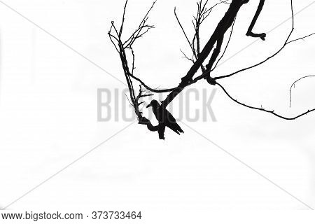 Crows Sitting On A Tree In Winter Or Autumn Forest On White Background.