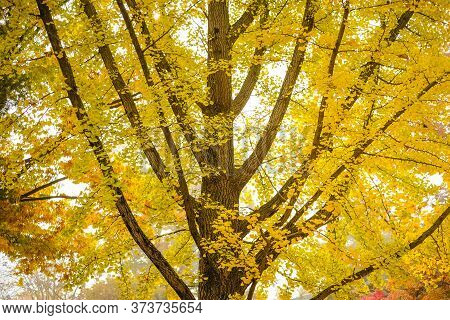 Ginkgo Biloba Yellow Leaf , In A Litle Bit In Green Color And Full Yellow Color In Fall Season, Leav