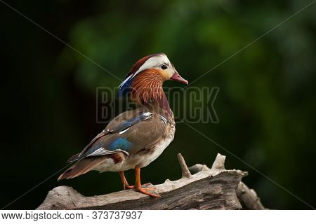 Portrait Of Bright Mandarin Bird - The Most Beautiful Duck In The World