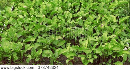 Fresh Green Beetroot Leaves. Texture Beetroot Leaves Growing On A Garden Bed. Beetroot Foliage Field