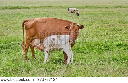 The White And Brown Cute Calf Sucks Milk From The Nipple Of The Cows Udder. A Herd Of Cows Grazes In