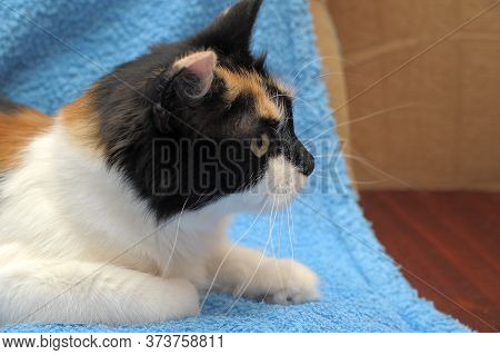Beautiful Young Tricolor European Shorthair Cat With Black, White And Red Color In Color