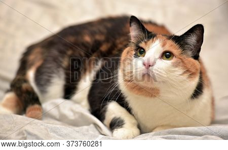 Thick Tricolor Cat  On Sofa At Home Close Up