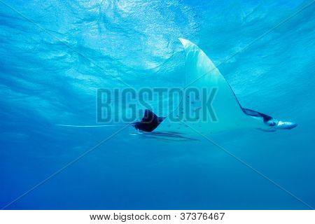 Manta ray swimming in Pacific ocean at French Polynesia
