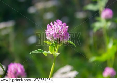Pink Flower Of Clover Or Trefoil (plants Of The Genus Trifolium) Close Up Macro