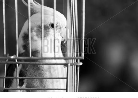 Corella Parrot In The Cage, Close Up