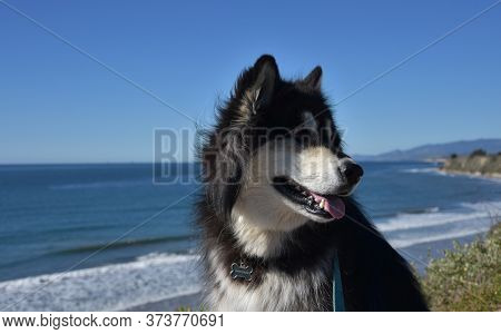 Siberian Husky Dog Looking Over His Shoulder By The Ocean.