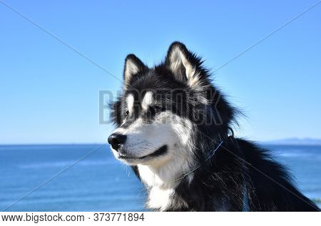 Gorgeous Husky Malamute Husky Mix Breed Dog By The Ocean.