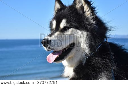 Profile Of An Alaskan Malamute Dog With His Tongue Out.