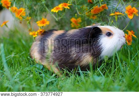Grazing Guinea Pig On Grass On A Beautiful Sunny Spring Day