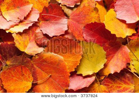 background from multicolored vibrant autumn leaves . poster