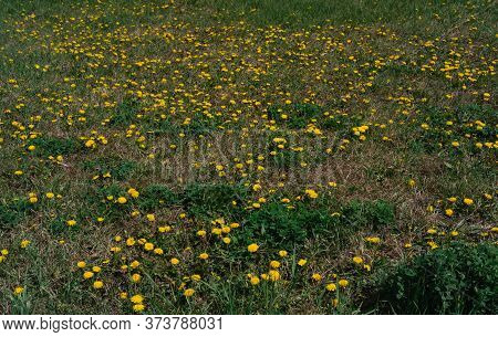 Yellow Field Of Dandelions. Lots Of Yellow Wildflowers In The Meadow. A Bee Collects Nectar Sitting