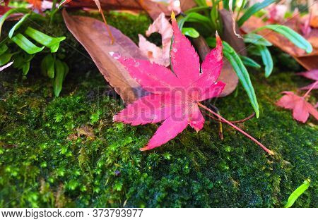 One Red Maple Focus Leaves On Green Moss, Autumn Leave On Moist Moss,green Grass,and Dry Leaves Fall