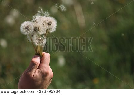 Hold White Fluffy Dandelions In Hand. Dandelion Seeds Fly In The Wind.