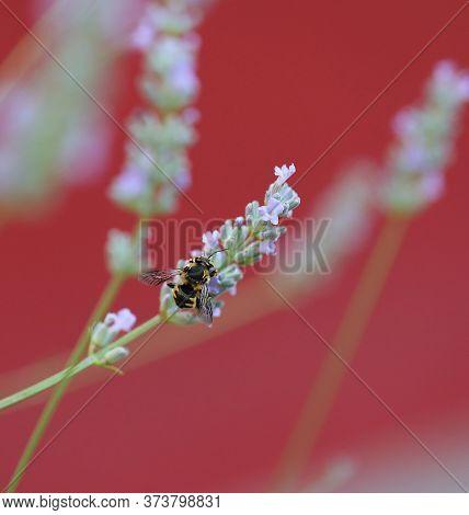 Bee Sucking Pollen From Lavender Flower In June