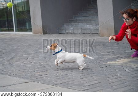 Puppy Jack Russell Terrier Performs The Command. A Small Funny Dog In A Blue Collar Plays With The O