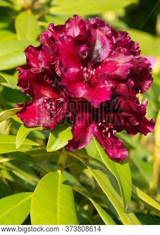 Rhododendron Hybrid Midnight Beauty (rhododendron Hybrid), Close Up Of The Flower Head