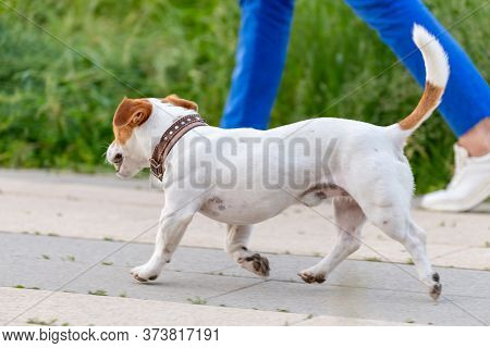 American Staffordshire Terrier Walks Next To The Owner For A Walk