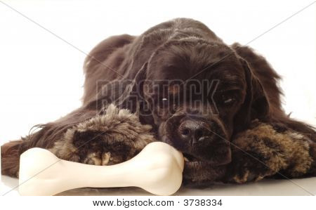 american cocker spaniel chewing on doggy bone poster