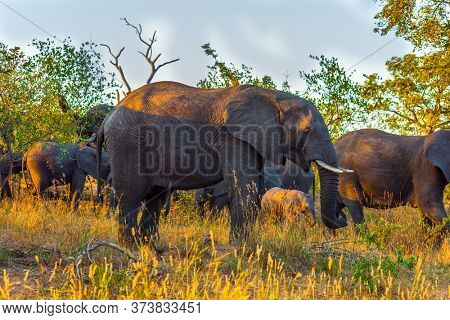The Kruger Park. Sunset. South Africa. The herd of African savannah elephants. Desert Acacia Thickets. Animals live and move freely in the savannah. The concept of exotic and photo tourism