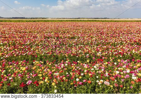 Huge field of bright flowering garden buttercups- ranunculus. Warm May Day. Lush cumulus clouds fly over the fields. Concept of ecological and rural tourism