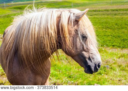 Journey of dreams. Portrait of a thoroughbred horse with a light mane. Beautiful and well-groomed Icelandic horses on a free pasture. Green fresh tall grass in summer tundra. Iceland.