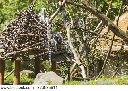 Ring-tailed Lemur With A Cub Sitting In The Branches. The Female Has Her Young.