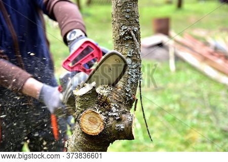 Professional Gardener Cuts Branches On A Old Tree, With Using A Chain Saw. Trimming Trees With Chain
