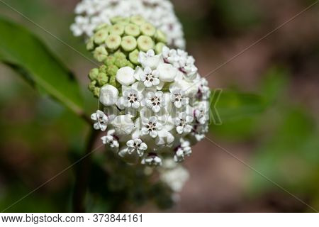 Closeup Of The White Flowers With Red Rings Around The Base Of The Redring Milkweed Plant (asclepias