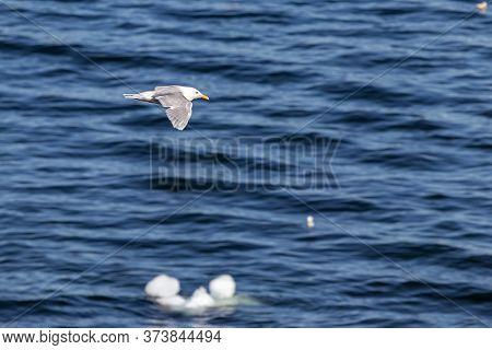Iceland Gull -larus Glaucoides, Flying At The Coastline Of Ilulissat, Greenland.