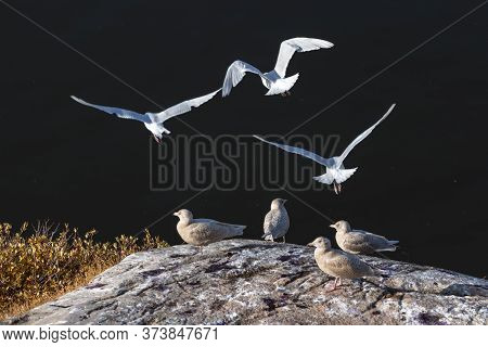 Group Of Iceland Gulls -larus Glaucoides, Flying At The Port Of Ilulissat, Greenland.