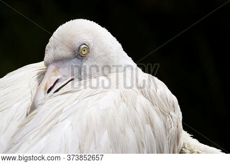 The White Heron Hid Its Beak Under The Wing. Close-up Of A Bird