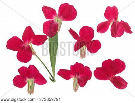 Pressed And Dried Flowers Gillyflower Or Matthiola, Isolated On White Background. For Use In Scrapbo