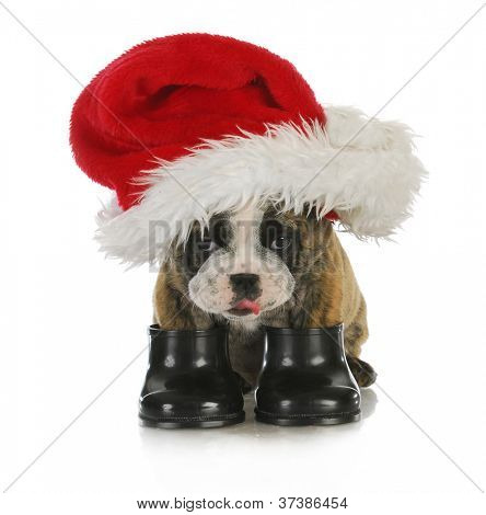 puppy santa - english bulldog dressed up with santa hat and boots on white background poster