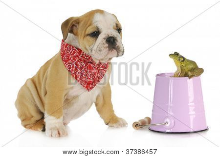 cute puppy with bullfrog - english bulldog looking at bullfrog sitting on a pail isolated on white background