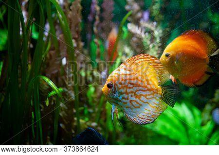 Discus Fish. Beautiful Multi-colored Fish Swim In An Aquarium, Orange And Green Tones.