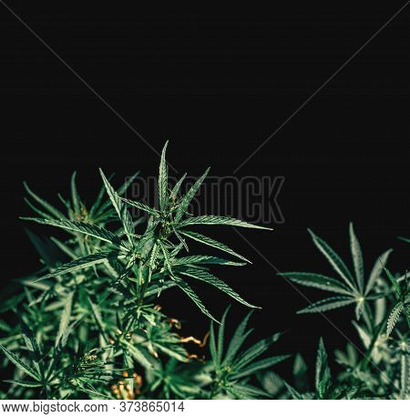 Border Of Green Cannabis Leaves On A Black Background. Medical Marijuana