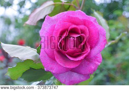 Amethyst Rose Flowers In The Garden