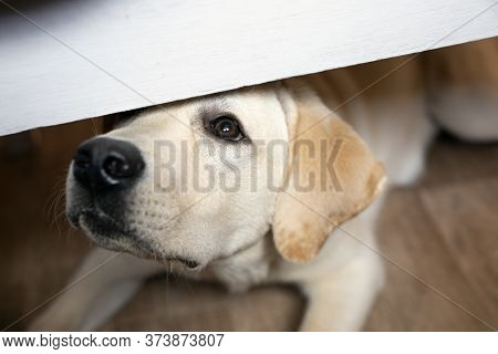 Begging Dog Looks Out From Under Table, Asks For Food.