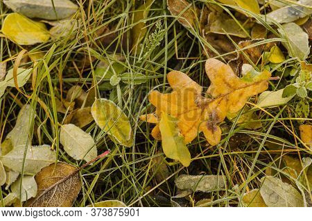 Yellow Oak Leaves On A Ground. Autumn Oak Leaves Background