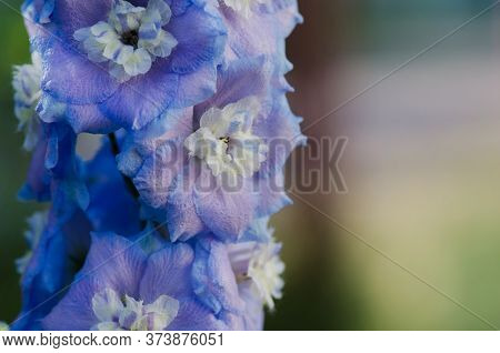 Blue Flower Of Delphinium In A Summer Garden