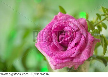 Lavender Rose In A Vase