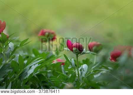 Red Pink Peonies. Red Trendy Colored Peony