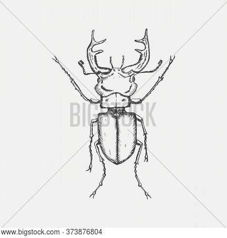 Stag Beetle Isolated On White Background. Hand Drawn Sketch In Vintage Engraving Style. Insect Vecto
