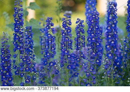 Delphinium Blue Delphinium Doubles Collection