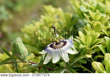 Closeup Of Passion Fruit Flower In Summer Garden/ Passiflora Flower White And Purple With Green Leaf