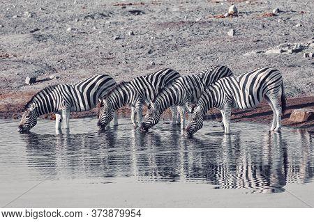 Burchell's Zebra Family With Calf Drinks From Waterhole, Etosha National Park, Namibia Wildlife Wild